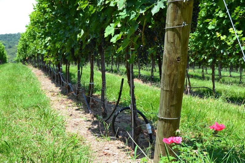 Vues de caverne Ridge Vineyard photographie stock libre de droits