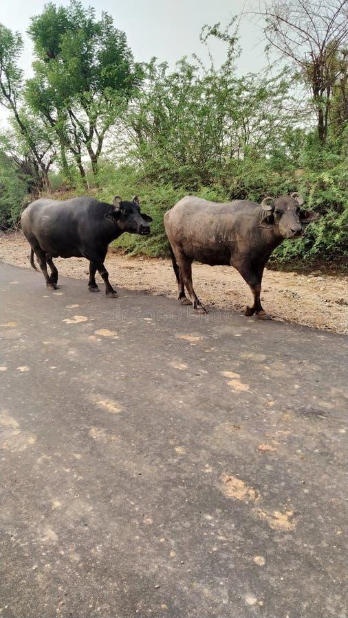 Vuile de Buffelsbuffels van Rajasthan royalty-vrije stock fotografie