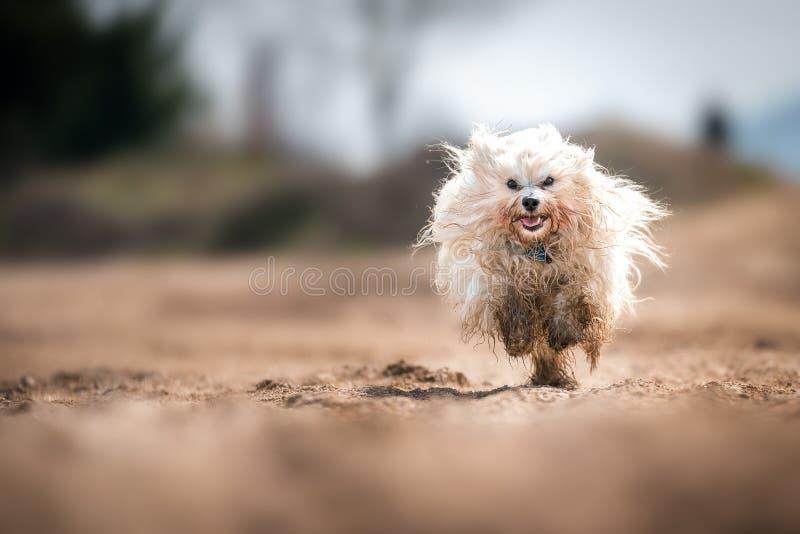 Vuile hond runnig snel royalty-vrije stock afbeeldingen