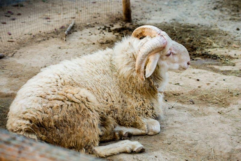 Vuile schapen royalty-vrije stock afbeelding