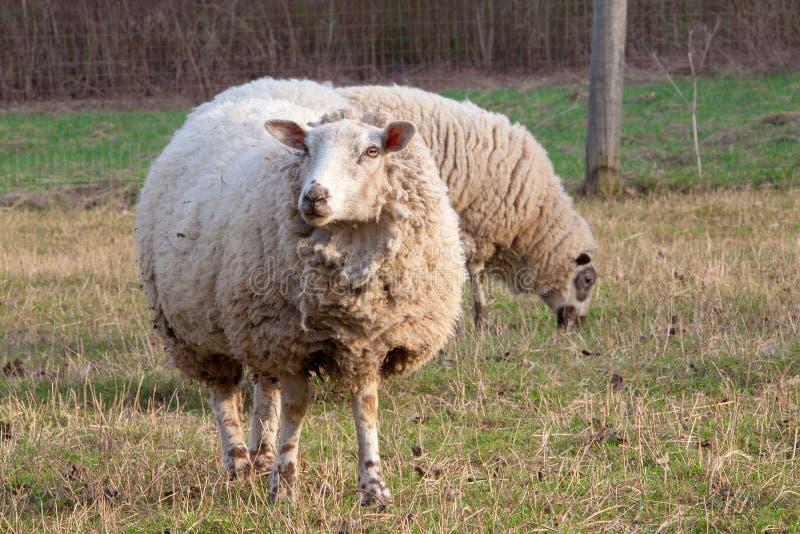 Vuile schapen in de paddock royalty-vrije stock afbeeldingen
