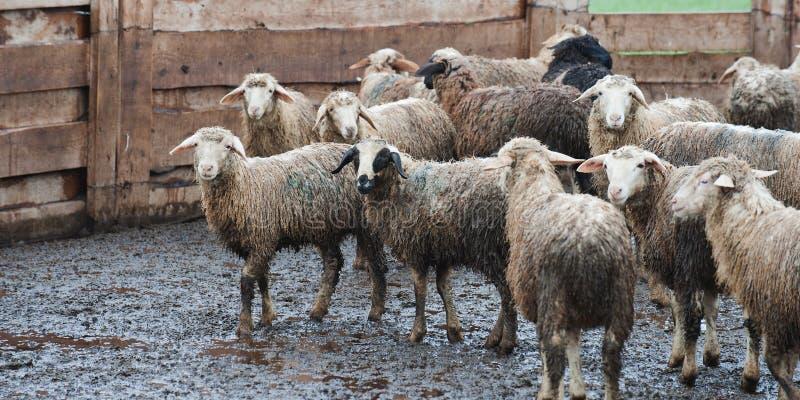 Vuile schapen na de regen bij een Russisch landbouwbedrijf royalty-vrije stock fotografie