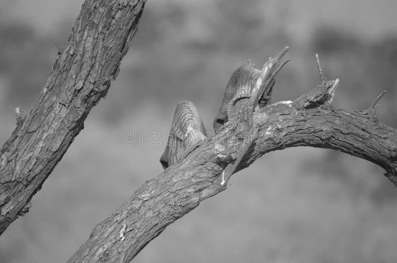 Vuile werkende handschoenen die op een te drogen boom hangen stock foto