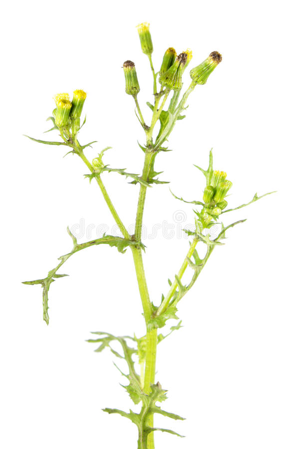 Vulgar de Groundsel ou de Senecio isolado no fundo branco Planta venenosa e medicinal imagem de stock royalty free