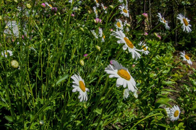 Vulgare del Leucanthemum de las flores de la margarita foto de archivo