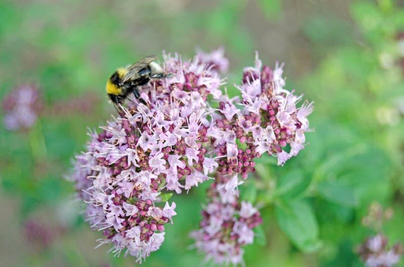 Vulgare del Origanum Orégano en la floración y el abejorro fotografía de archivo