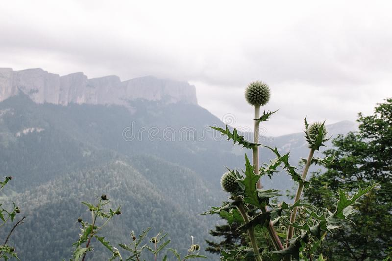 Vulgare do Cirsium, cardo de touro, ou cardo comum com Mountain View fotos de stock royalty free