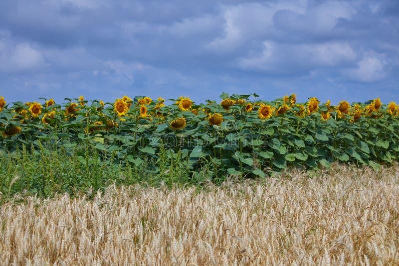 Vulgare do Hordeum da cevada e campo de flor do sol em um céu azul foto de stock