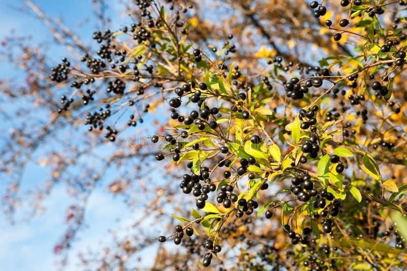 Vulgare do Ligustrum fotografia de stock