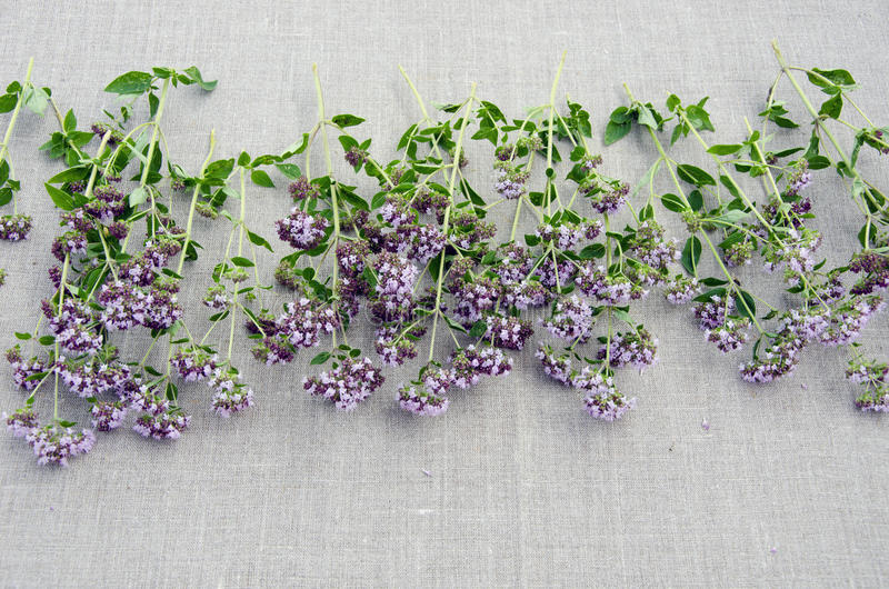 Vulgare do origanum da erva do Oregano no pano de linho fotos de stock