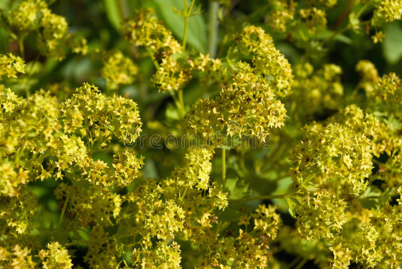 vulgaris alchemillaladyansvar s royaltyfria bilder
