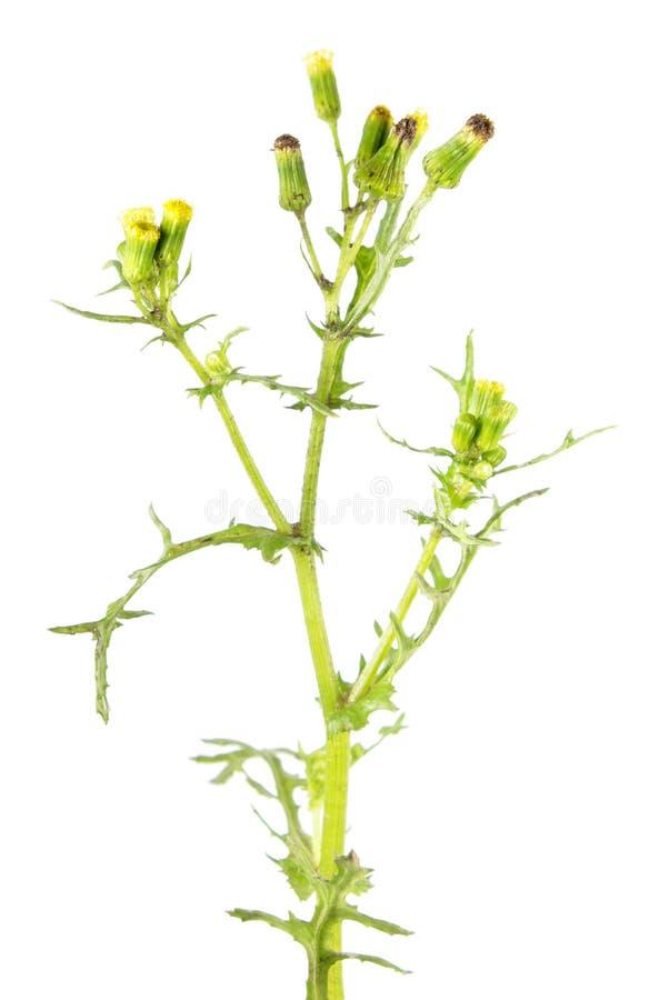 Vulgaris de Groundsel o del Senecio aislada en el fondo blanco Planta venenosa y medicinal imagen de archivo libre de regalías
