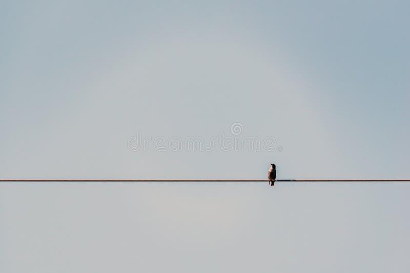 Vulgaris de Storn Sturnus d'oiseaux étendu sur un fil d'acier photo stock