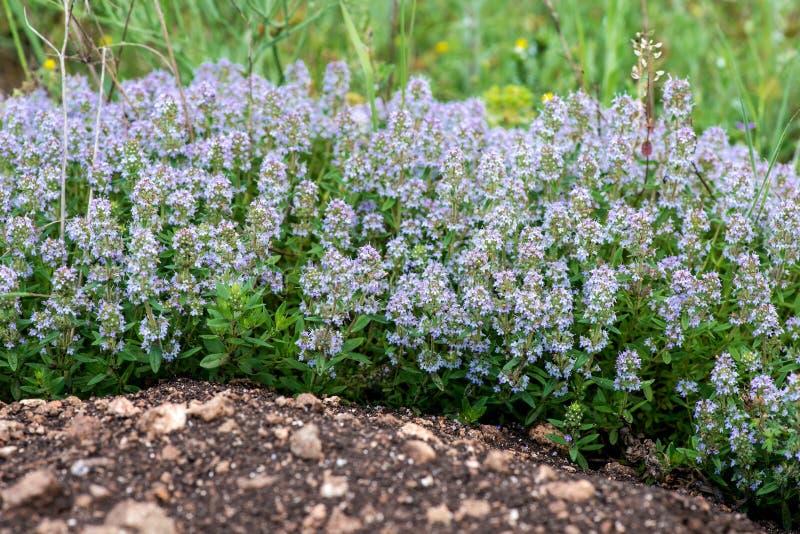 Vulgaris de thymus connu sous le nom de thym commun, thym de jardin, variété avec - fleurs roses - l'herbe médicinale pâle photos stock