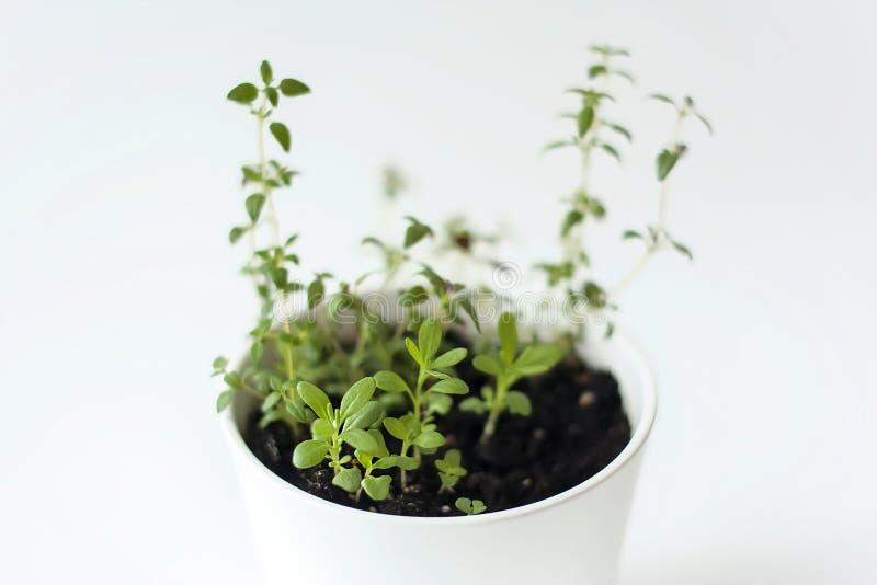 Vulgaris gemensam timjan för thymuskörtel, tysk timjan, trädgårdtimjan och Rosemary Rosmarinus officinalisplantor i den vita kruk royaltyfri bild