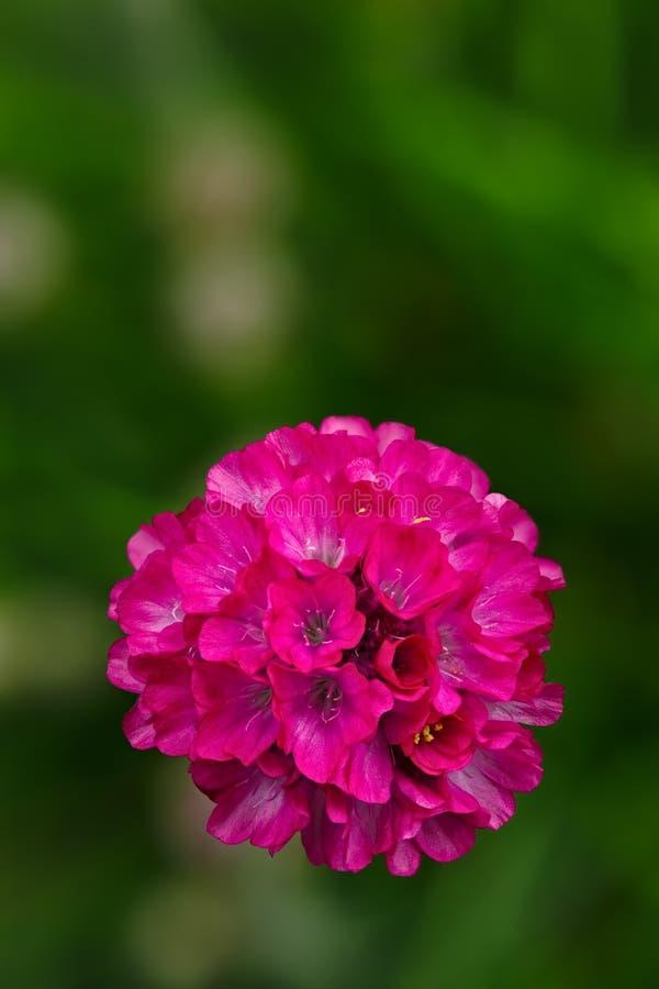 Vulgaris lösa blom för Armeria i vår En perenn trädgårds- växt arkivfoto