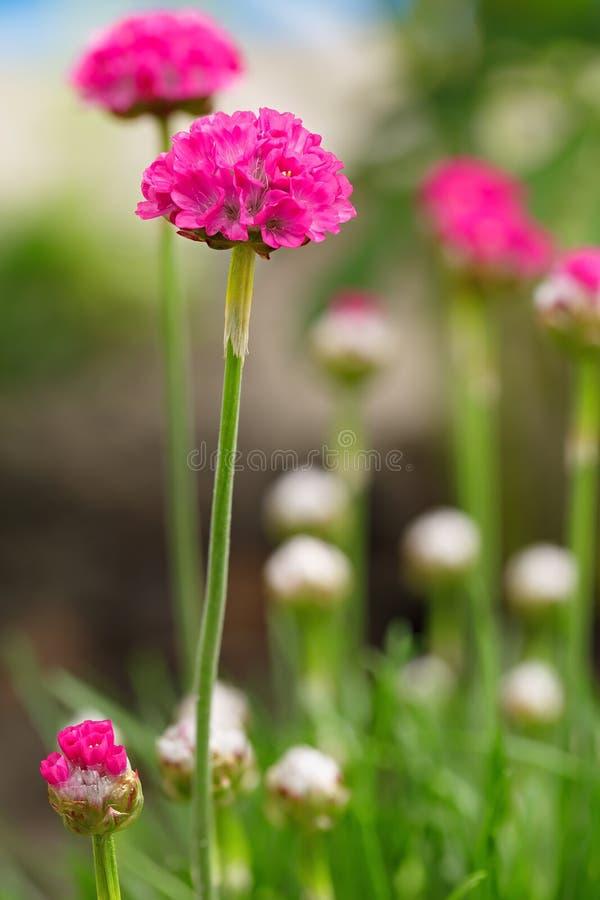 Vulgaris lösa blom för Armeria i vår perenn trädgårds- växt royaltyfri bild