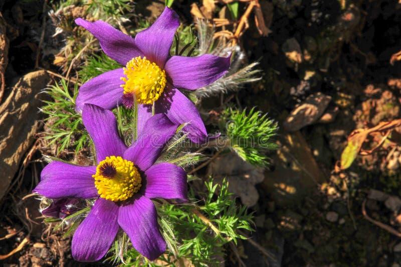 Vulgaris Pulsatilla, Pasque Flower arkivfoton