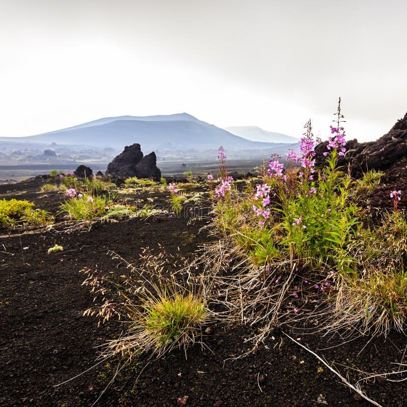 Vulkanisch Landschap Roze bloemen die dichtbij Volcano Tolbachik, het Schiereiland van Kamchatka groeien stock fotografie