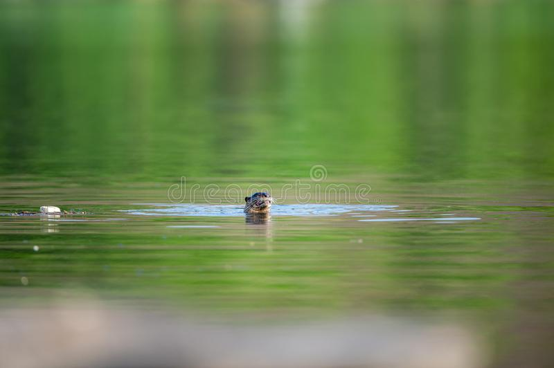 Vulnerable Animal Smooth coated otter or Lutrogale perspicillata or Lutrogale pers in ramaganga river at corbett tiger reserve royalty free stock photography