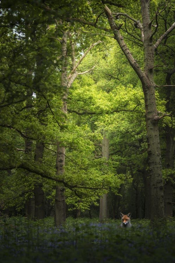 Vulpes de Vulpes de renard de stupéfaction dans le paysage vibrant du bois de jacinthe des bois images stock