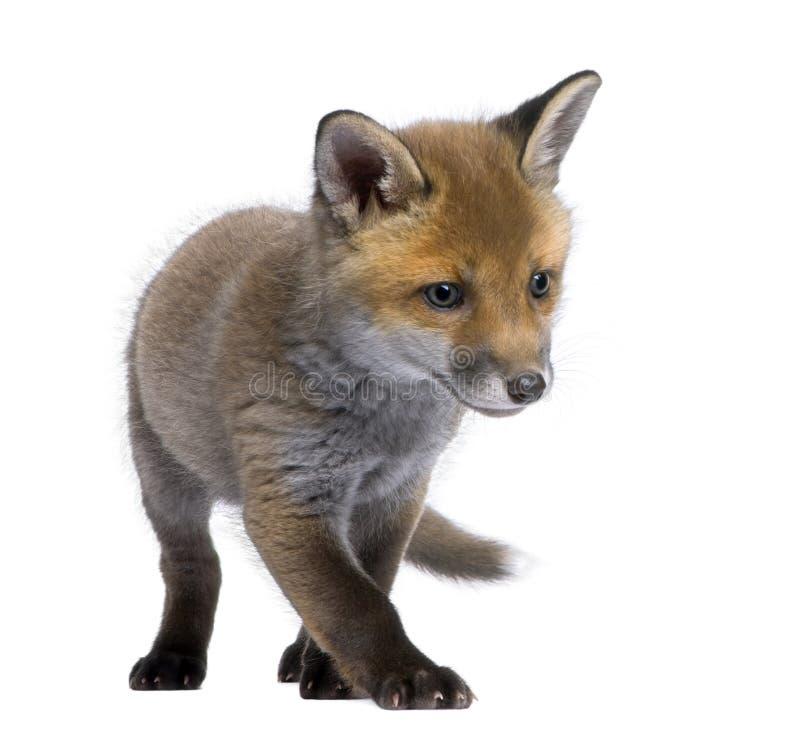 Vulpes del Vulpes del cachorro del zorro rojo (6 semanas de viejo) - foto de archivo libre de regalías