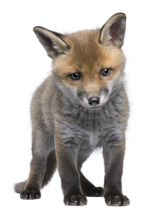 Vulpes del Vulpes del cachorro del zorro rojo (6 semanas de viejo) - foto de archivo