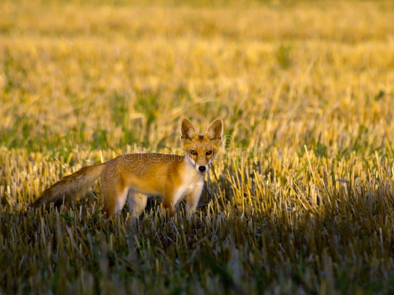Vulpes do Vulpes da raposa vermelha fotografia de stock royalty free