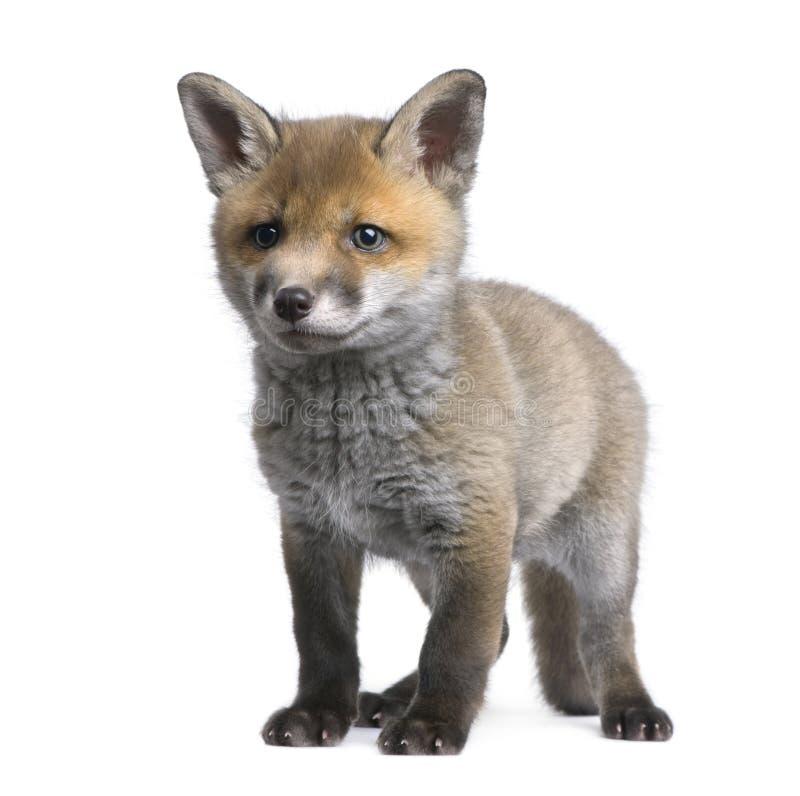 Vulpes do Vulpes do filhote da raposa vermelha (6 semanas velho) - fotografia de stock royalty free