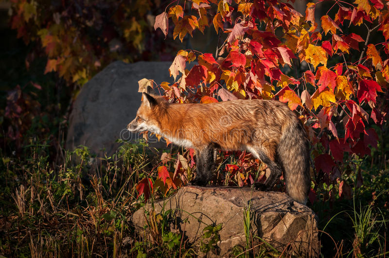 Vulpes do Vulpes do Fox vermelho no perfil na rocha imagem de stock