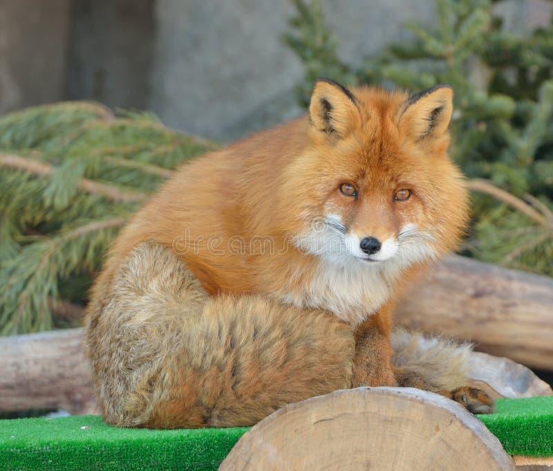 Vulpes drôle de Vulpes de renard rouge photo stock