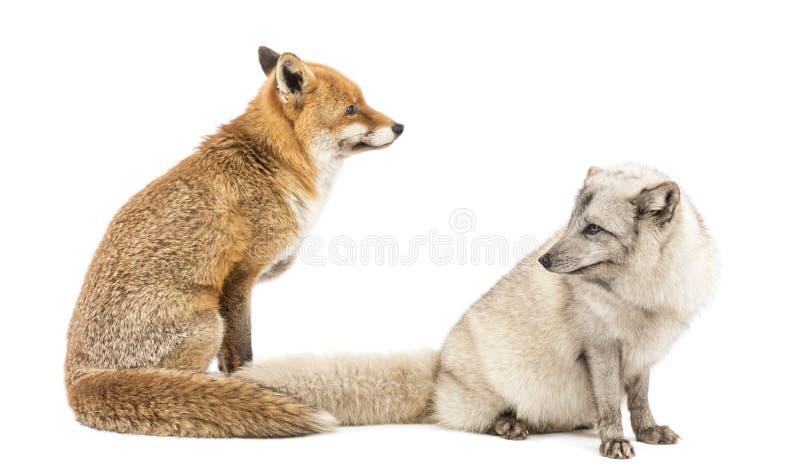 Vulpes roten Fox, des Vulpes und arktischer Fox, Vulpes Lagopus, sitzend stockbilder
