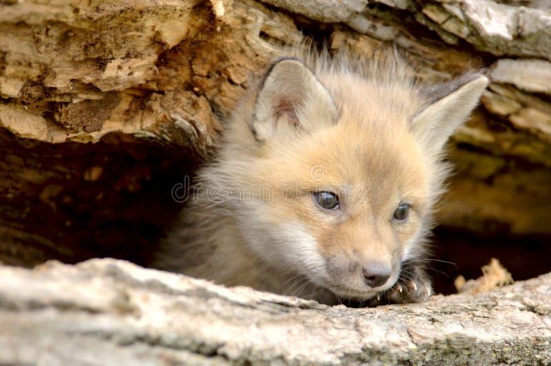 Vulpes-schauende Kamera des roter Foxc$welpe-vulpes verließ lizenzfreie stockbilder