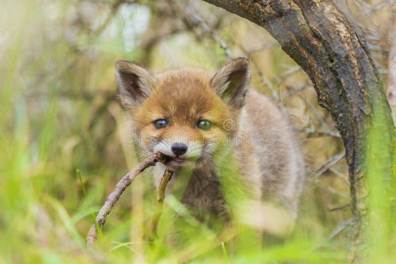 Vulpes selvagem do vulpes do filhote da raposa vermelha do bebê imagem de stock