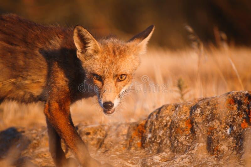 Vulpes spagnoli di vulpes della volpe immagini stock