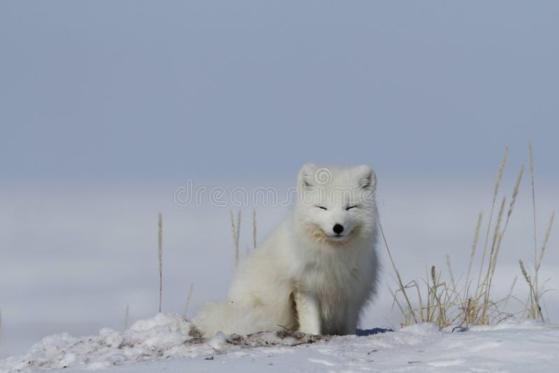 VulpesLagopus för arktisk räv som vaknar upp från en ta sig en tupplur med snö på jordningen, nära Arviat Nunavut royaltyfri foto