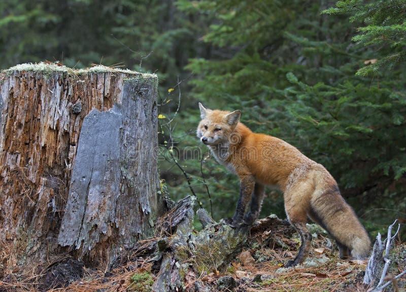 Vulpesvulpesen för den röda räven i Algonquin parkerar fotografering för bildbyråer