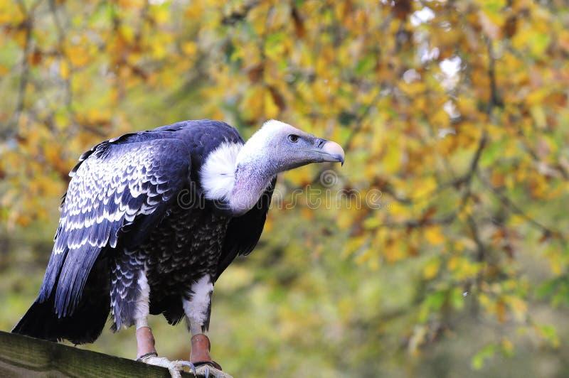 Download Vulture stock image. Image of carrion, wild, scavenger - 13613611