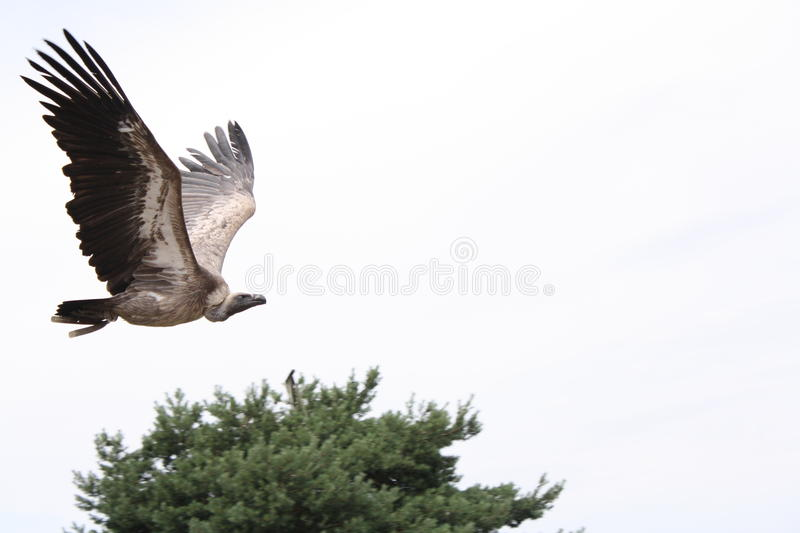 A vulture royalty free stock images