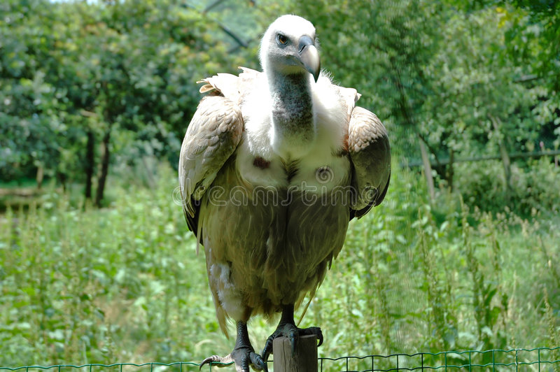 Download Vulture stock image. Image of feathers, bird, predator - 167319