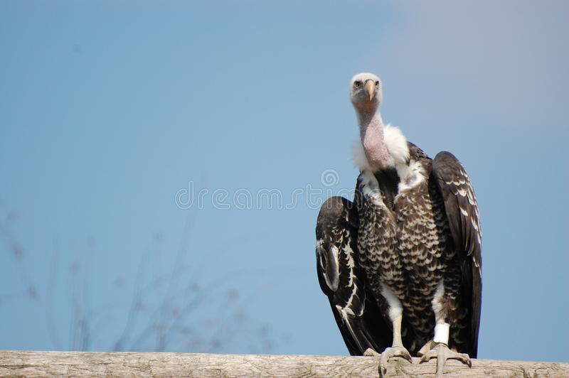 Download Vulture stock image. Image of sitting, animals, preditor - 21002101