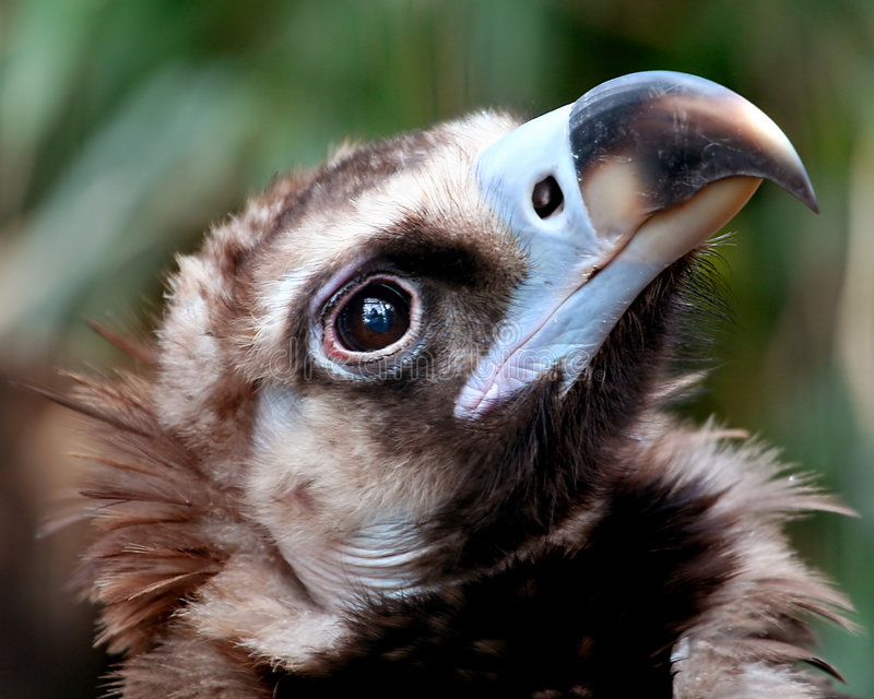 Download Vulture stock image. Image of more, asleep, checked, blooey - 2162739