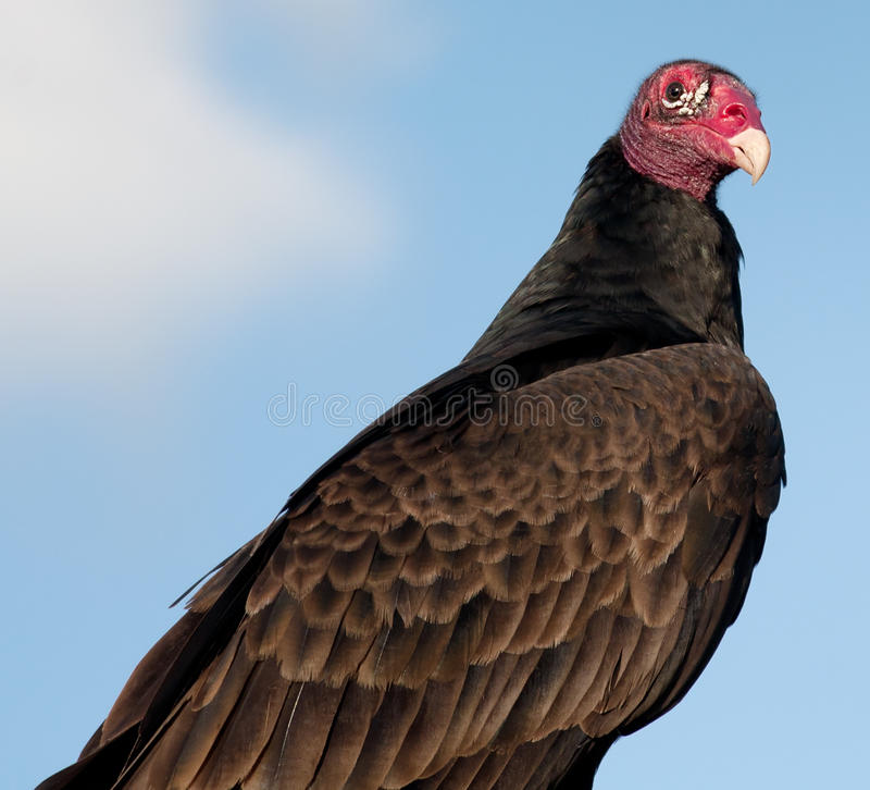 Download Vulture Stock Photo - Image: 22498860