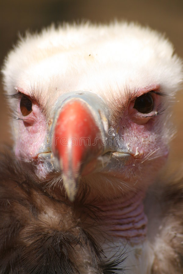 Download Vulture stock image. Image of hunter, griffon, claws, britain - 2289375