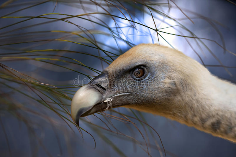 Download Vulture stock photo. Image of heather, head, outdoor - 23875596