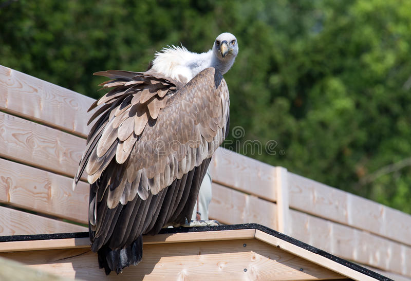 Download Vulture stock image. Image of predator, sharp, look, feather - 25775557
