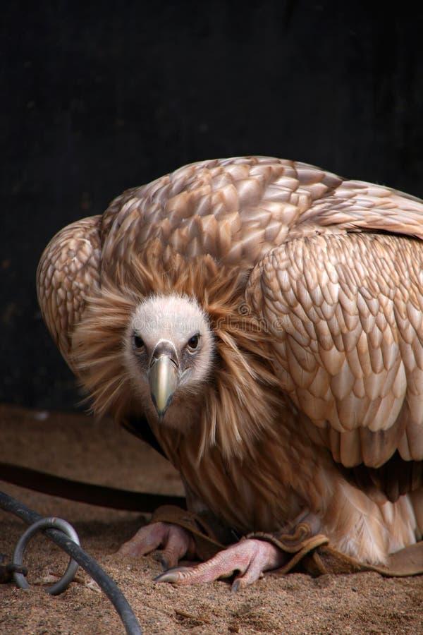 Download Vulture stock image. Image of nature, wildlife, naturescavenger - 28873555