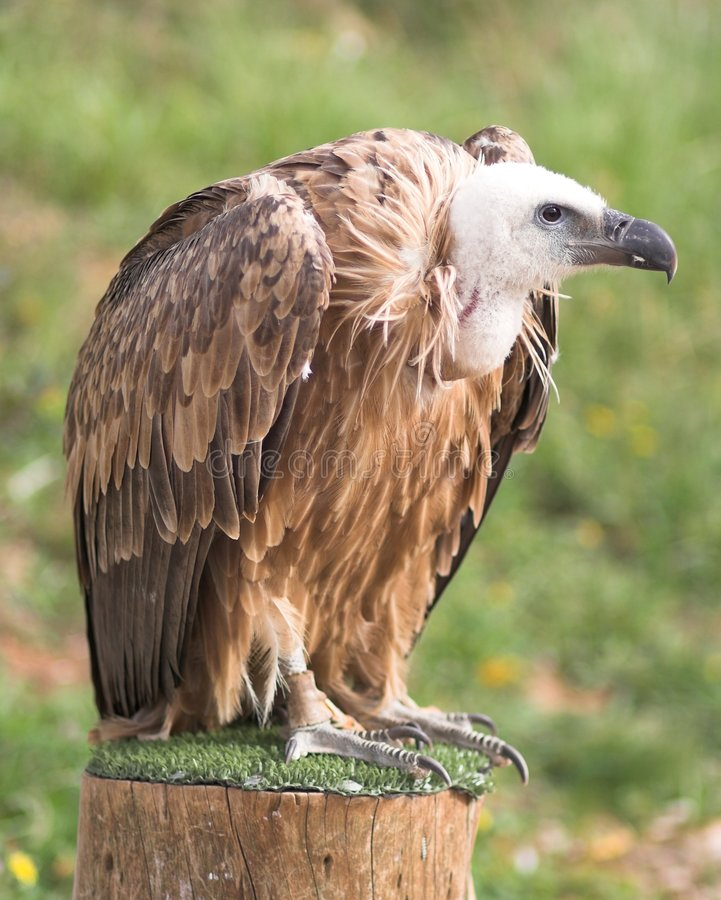 Free Vulture Royalty Free Stock Images - 378249