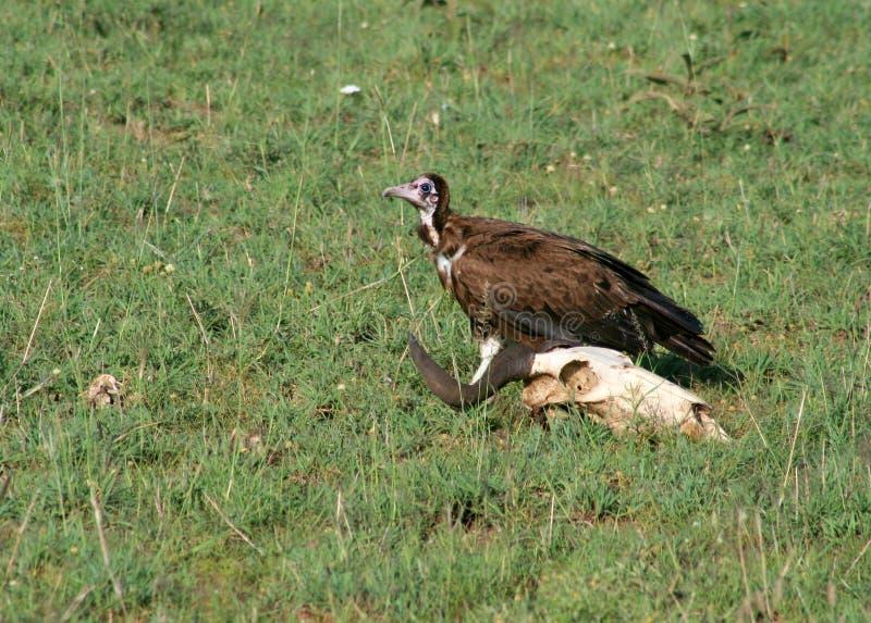 Download Vulture stock image. Image of african, skeleton, vulture - 7714957