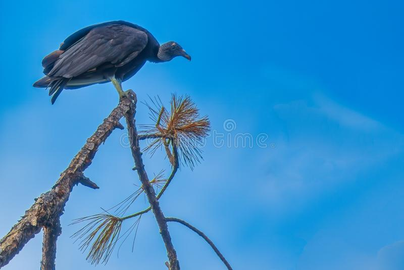 vulture fotografia de stock